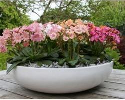 Pianta di Lewisia Elise (Vaso 11 cm)