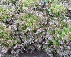 Pianta di Gentilina a Foglia Rossa Amboise (Vaschette da 9 piante)
