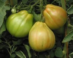 Pianta di Pomodoro Cuor di Bue di Albenga (Vaschetta da 4 piante)