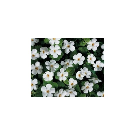 Pianta di Bacopa Bahia White (Vaso 14 cm)