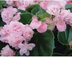 Pianta di Begonia Paso Doble Pink (Vaso 14 cm)