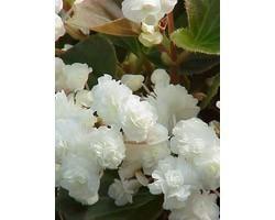 Pianta di Begonia Paso Doble White (Vaso 14 cm)