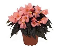 Pianta di begonia paso doble pink vaso 14 cm societ for Begonia pianta