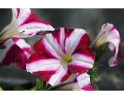 Pianta di Petunia Sweetunia Suzie Storm (Vaso 14)