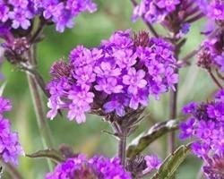 Pianta di Verbena Rigida Santos purple (Vaso 14 cm)