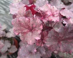 Pianta di Heuchera Midnight rose (Vaso 11 cm)