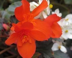 Pianta di Begonia Unstoppable Upright Fire (Vaso 14 cm)
