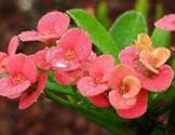 Piante di Euphorbia