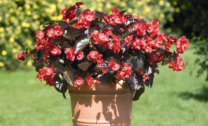 Pianta di begonia big red bronze leaf vaso 14 cm for Begonia pianta
