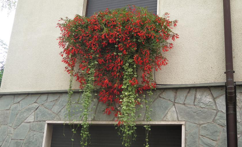 Pianta di begonia bonfire societ agricola il sumenzat for Begonia pianta