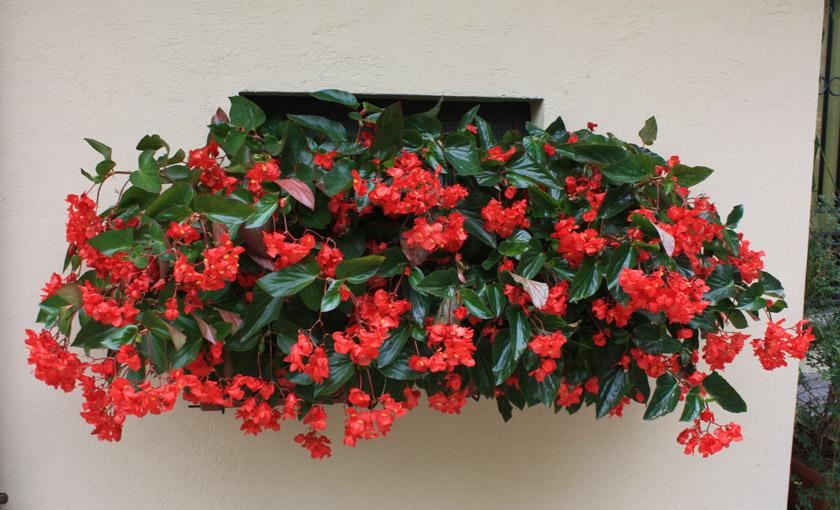 Pianta di begonia dragon wing red vaso 14 cm societ for Pianta con fiori rossi