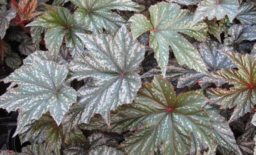 Pianta di begonia gryphon vaso 14 cm societ agricola for Begonia pianta