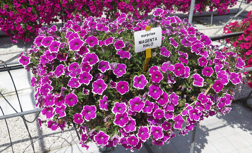 Pianta di petunia surprise magenta halo vaso 14 cm for Petunie inverno