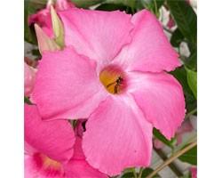 Pianta di Dipladenia Sundaville Cosmos pink (Vaso 12 cm)
