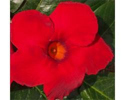 Pianta di Dipladenia Sundaville Cosmos carmine red (Vaso 12 cm)