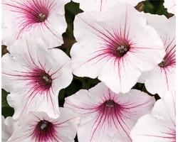 Petunia Vista Silverberry (vaso 14 cm)