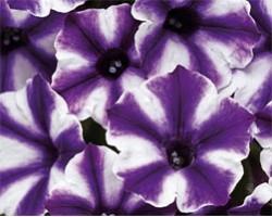 Petunia Violet Blast (vaso 14 cm)