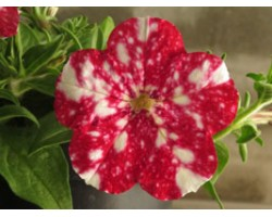 Petunia Famous Red White Spots (vaso 14 cm)