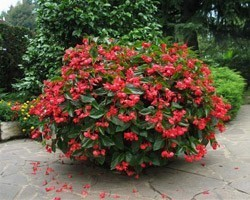 Pianta di Begonia Dragon Wing Red (Vaso 14 cm)