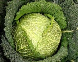 Pianta di Cavolo Verza F1 Famosa (Vaschetta da 6 piante)