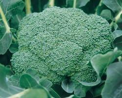 Pianta di Cavolo Broccolo F1 Srx (Vaschetta da 6 piante)