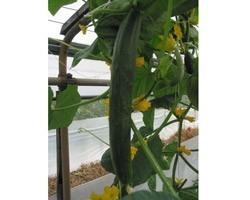 Pianta di Cetriolo Lungo F1 Tasty Green (Vaschetta da 4 piante)