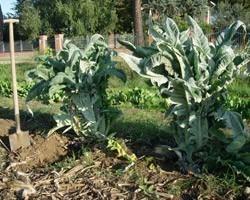 Pianta di Cardo Blanc Inerm (Vaschetta da 4 piante)