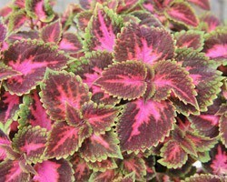 Pianta di Coleus Fifth Avenue