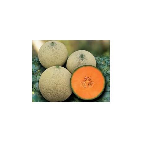 Pianta di melone retato capitol societ agricola il sumenzat for Pianta di melone