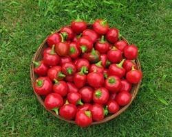 Pianta di Peperone Piccante F1 Cherry Bomb (Vaschetta da 6 piante)