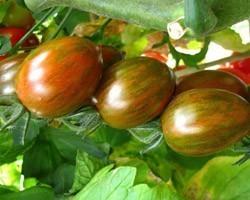 Pianta di Pomodoro F1 Crispino Plum Vaso 10 cm)