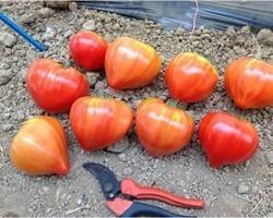 Pianta di Pomodoro Cuor di Bue F1 Cupidissimo (Vaso 10 cm)