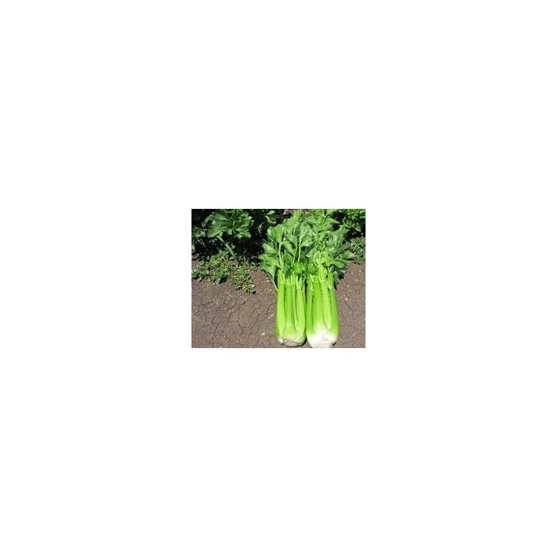 Pianta di sedano verde f1 conga vaschetta da 6 piante for Pianta da pavimento verde