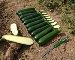 Pianta di Zucchino Verde F1 Aloha (Vashetta da 4 piante)