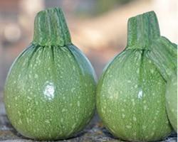 Pianta di Zucchino Tondo F1 Galilèe (Vaso 10 cm)