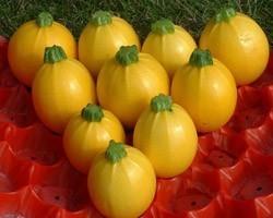 Pianta di Zucchino Giallo Tondo F1 Floridor (Vaso 10 cm)
