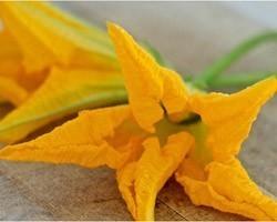 Pianta di Zucchino da fiore