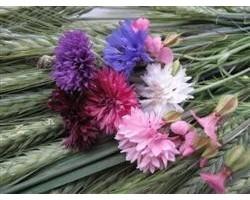 Piante di Fiordaliso mix (vaso 10 cm)
