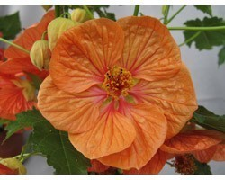 Pianta di Abutilon Bella mix (vaso 14 cm)