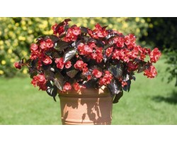 Pianta di Begonia Big Red Bronze Leaf (Vaso 14 cm)