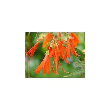 Pianta di Begonia Bonfire