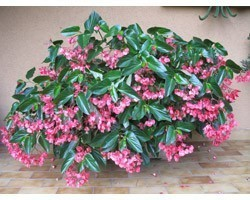 Pianta di Begonia Dragon Wing Pink (Vaso 14 cm)