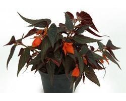 Pianta di Begonia Summerwing Ebony & Orange ( vaso 14 cm)