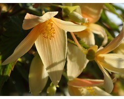 Pianta di Begonia Summerwing Vanilla (vaso 14 cm)
