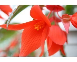 Pianta di Begonia Summerwing Orange (vaso 14 cm)