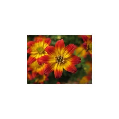 Pianta di Bidens Bee Dance Painted Red (vaso 14 cm)