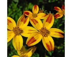 Pianta di Bidens Bee Dance Painted Yellow