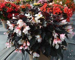 Pianta di Begonia Unstoppable Upright White