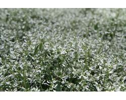 Pianta di Euphorbia Diamod Frost (Vaso 14 cm)