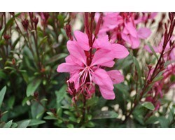 Pianta di Gaura Pink (Vaso 14 cm)